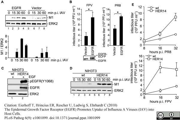 Influenza A Matrix Protein Antibody | GA2B gallery image 2