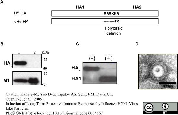 Influenza A Matrix Protein Antibody | GA2B gallery image 8