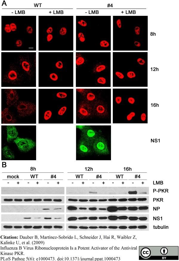 Influenza B Nucleoprotein Antibody | B017 (B35G) gallery image 2