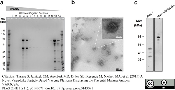 Papillomavirus 16 L1 Late Protein Antibody | CamVir-1 gallery image 2