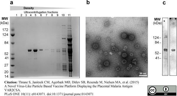 Papillomavirus 16 L1 Late Protein Antibody | CamVir-1 gallery image 1