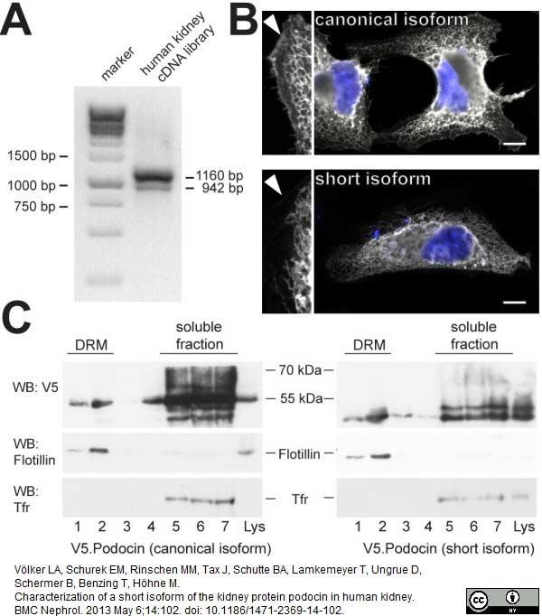 V5-Tag Antibody | SV5-Pk1 gallery image 15