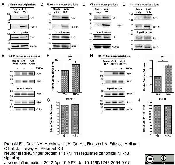 V5-Tag Antibody | SV5-Pk1 gallery image 10