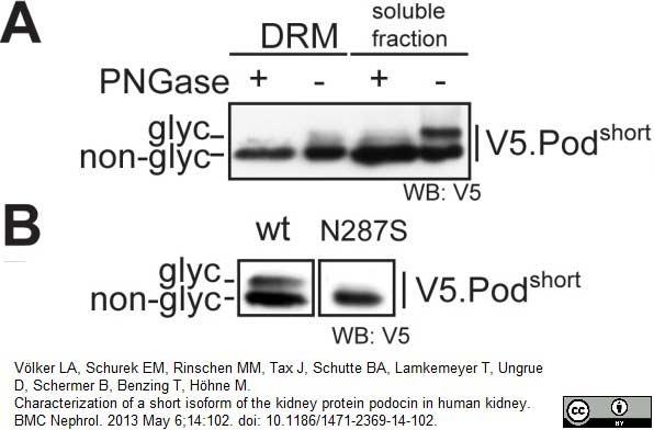 V5-Tag Antibody | SV5-Pk1 gallery image 17