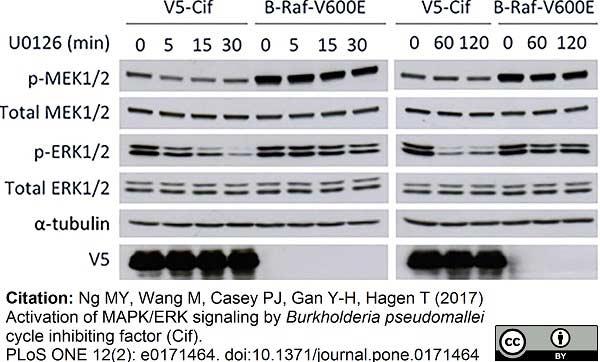 V5-Tag Antibody | SV5-Pk1 gallery image 5