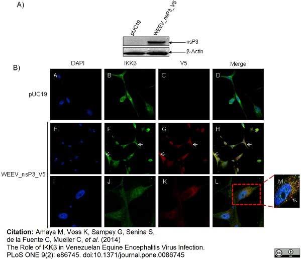 V5-Tag Antibody | SV5-Pk1 gallery image 22