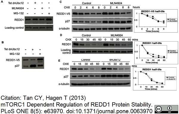 V5-Tag Antibody | SV5-Pk1 gallery image 13