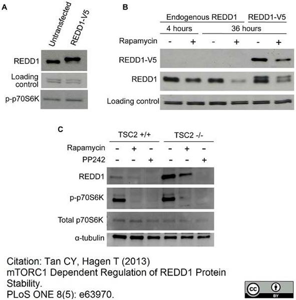 V5-Tag Antibody | SV5-Pk1 gallery image 12