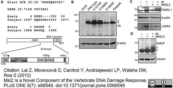 V5-Tag Antibody | SV5-Pk1 gallery image 8
