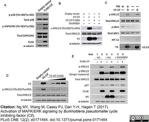 V5-Tag Antibody | SV5-Pk1 gallery image 3