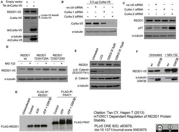 V5-Tag Antibody | SV5-Pk1 gallery image 14