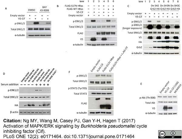 V5-Tag Antibody | SV5-Pk1 gallery image 6