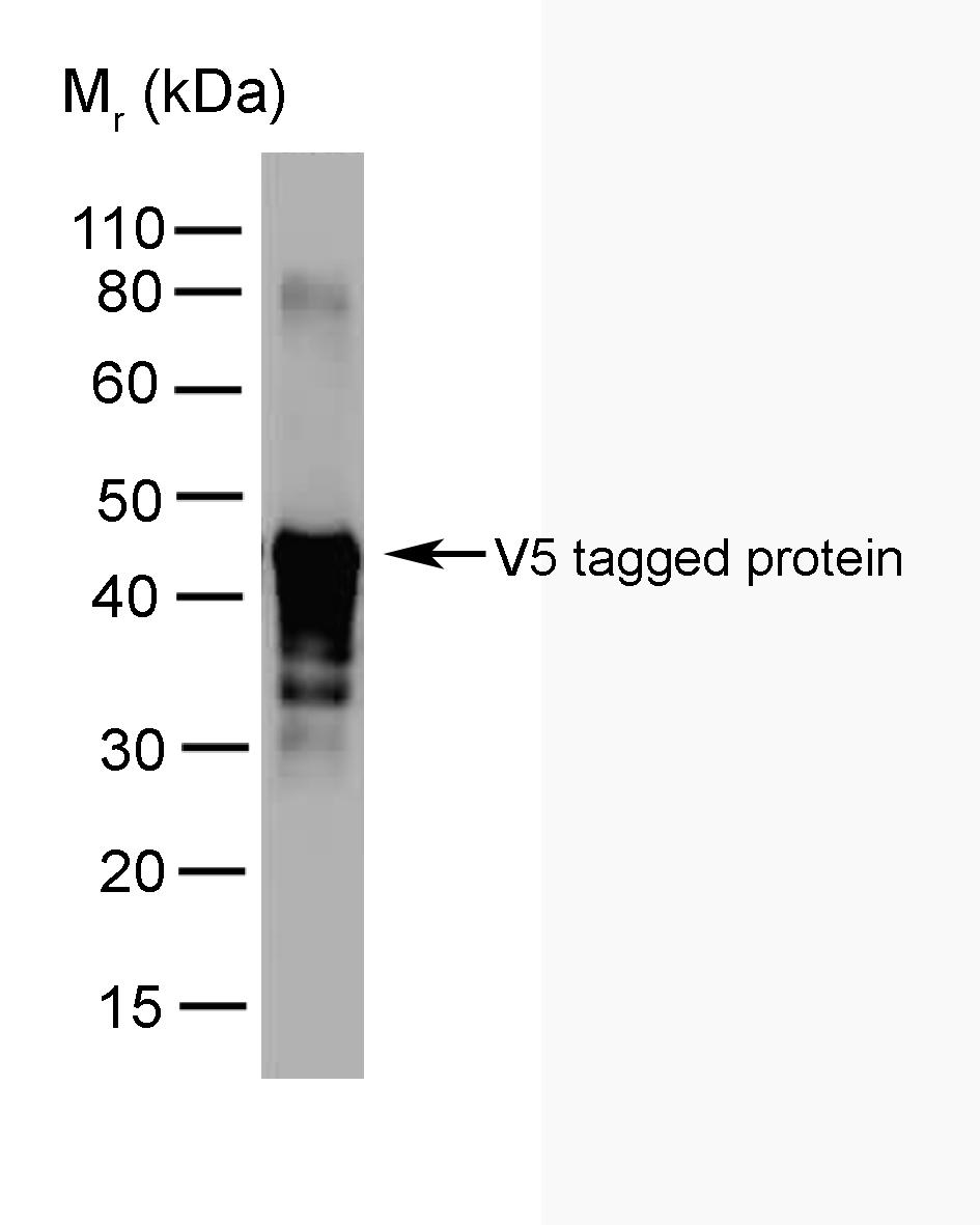 V5-Tag Antibody | SV5-Pk2 gallery image 1