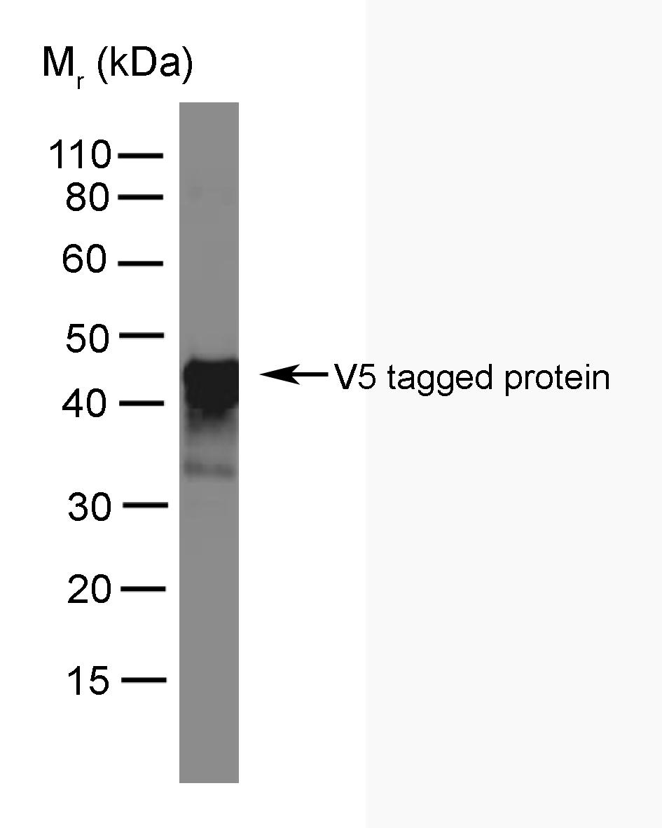 V5-Tag Antibody | SV5-Pk4 gallery image 1
