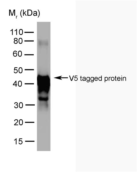 V5-Tag Antibody | SV5-Pk5 gallery image 1