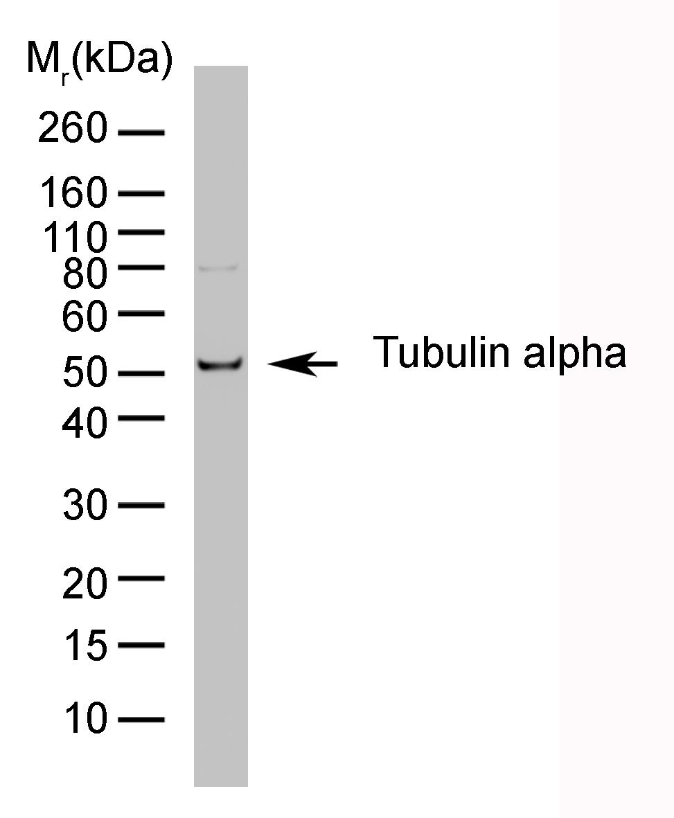 Tubulin Alpha Antibody | YL1/2 gallery image 1