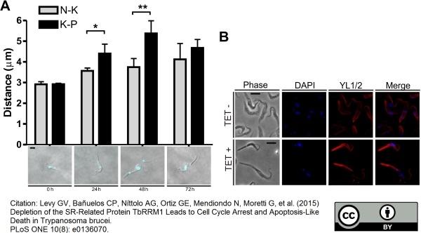 Tubulin Alpha Antibody | YL1/2 gallery image 3