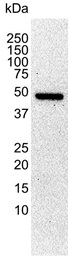 Tubulin Alpha Antibody | YL1/2 gallery image 2