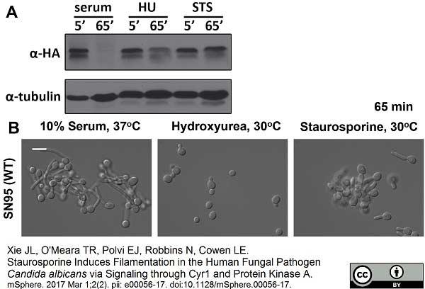 Tubulin Alpha Antibody | YOL1/34 gallery image 11