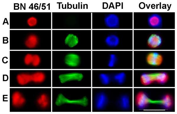 Tubulin Alpha Antibody | YOL1/34 gallery image 7
