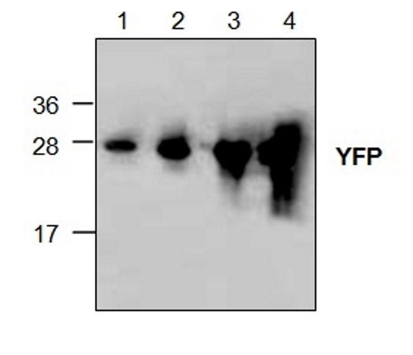 Yellow Fluorescent Protein Antibody gallery image 1