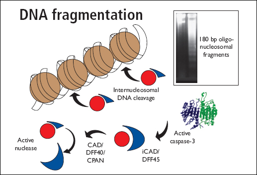 DNA Fragmentation Antibodies