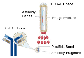HuCAL® Custom Monoclonal Antibody Generation