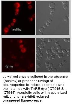 Jurkat cells